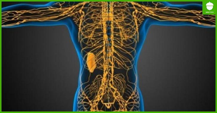 Как устроена лимфатическая система человека