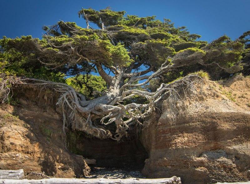 10 деревьев, которые отказались умирать и бьются за жизнь до конца