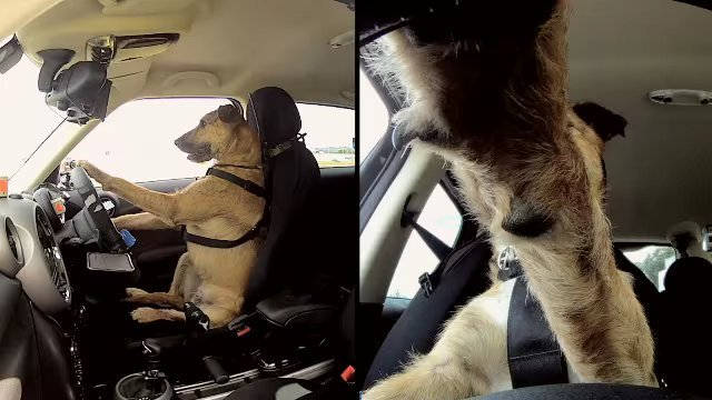 Первая в мире собака, которая прошла курсы вождения и села за руль автомобиля (Видео)