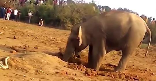 Слониха 11 часов рыла яму в земле — она понимала, что на людей надежды нет (Видео)
