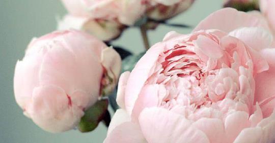 Самые интересные факты о пионах, которые должен знать каждый любитель этих нежных цветов