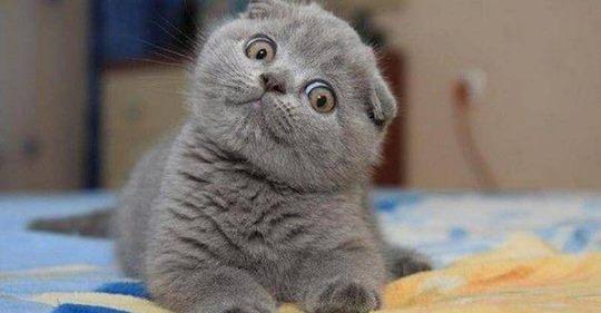 8 самых умных пород кошек