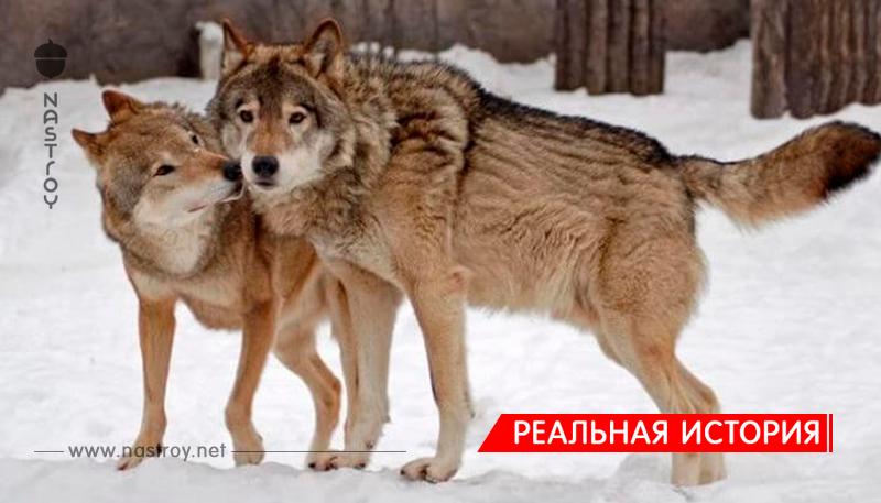 Дикие волки спасли беременную женщину во время бури и стали ее акушерами…