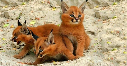 Кто эти чудесные котята, в которых можно влюбиться безоглядно?