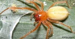 Из-за потепления в Украине появился опасный средиземноморский паук