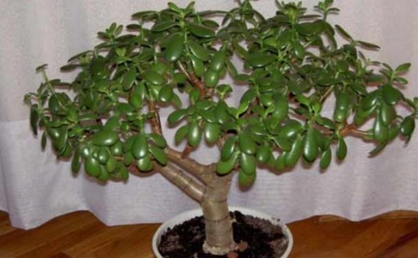 Очень многие выращивают у себя «Денежное Дерево». Так вот, знайте, что вы поливаете и выращиваете…