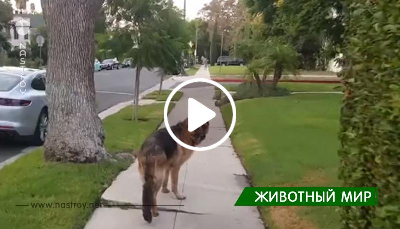 Собака шла впереди хозяина, но когда оглянулась — мужчина исчез. Реакцию питомца стоит увидеть