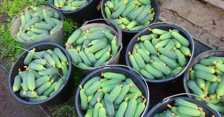 Подкормка для огурцов, чтобы получить богатый урожай
