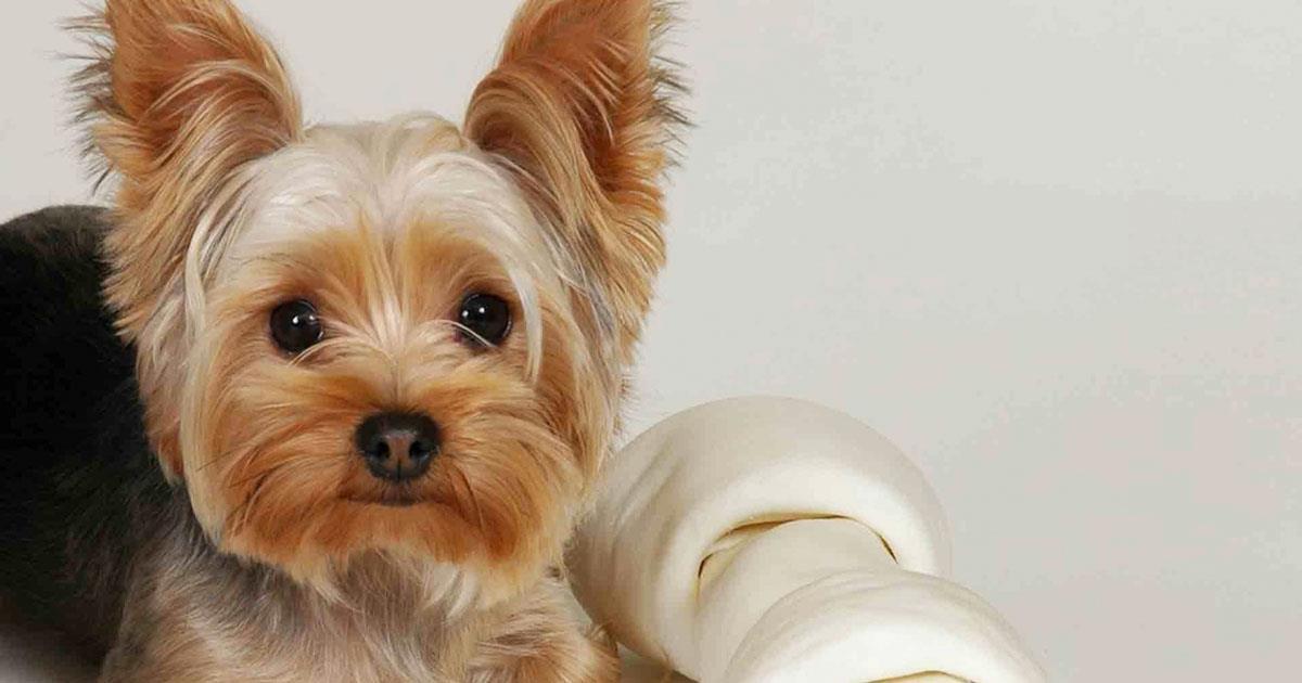 Это невероятно умная собака. То что умеет этот йоркширский терьер, приведет Вас в восторг!