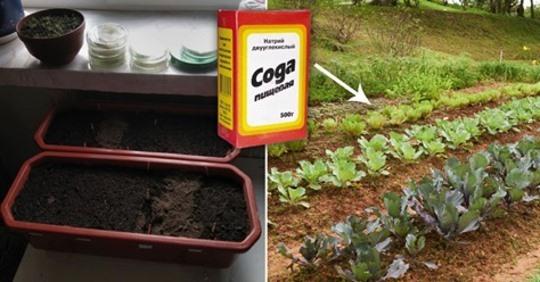 Пищевая сода всегда готова помочь дачнику. Посыпаю муравьёв в огороде они уходят
