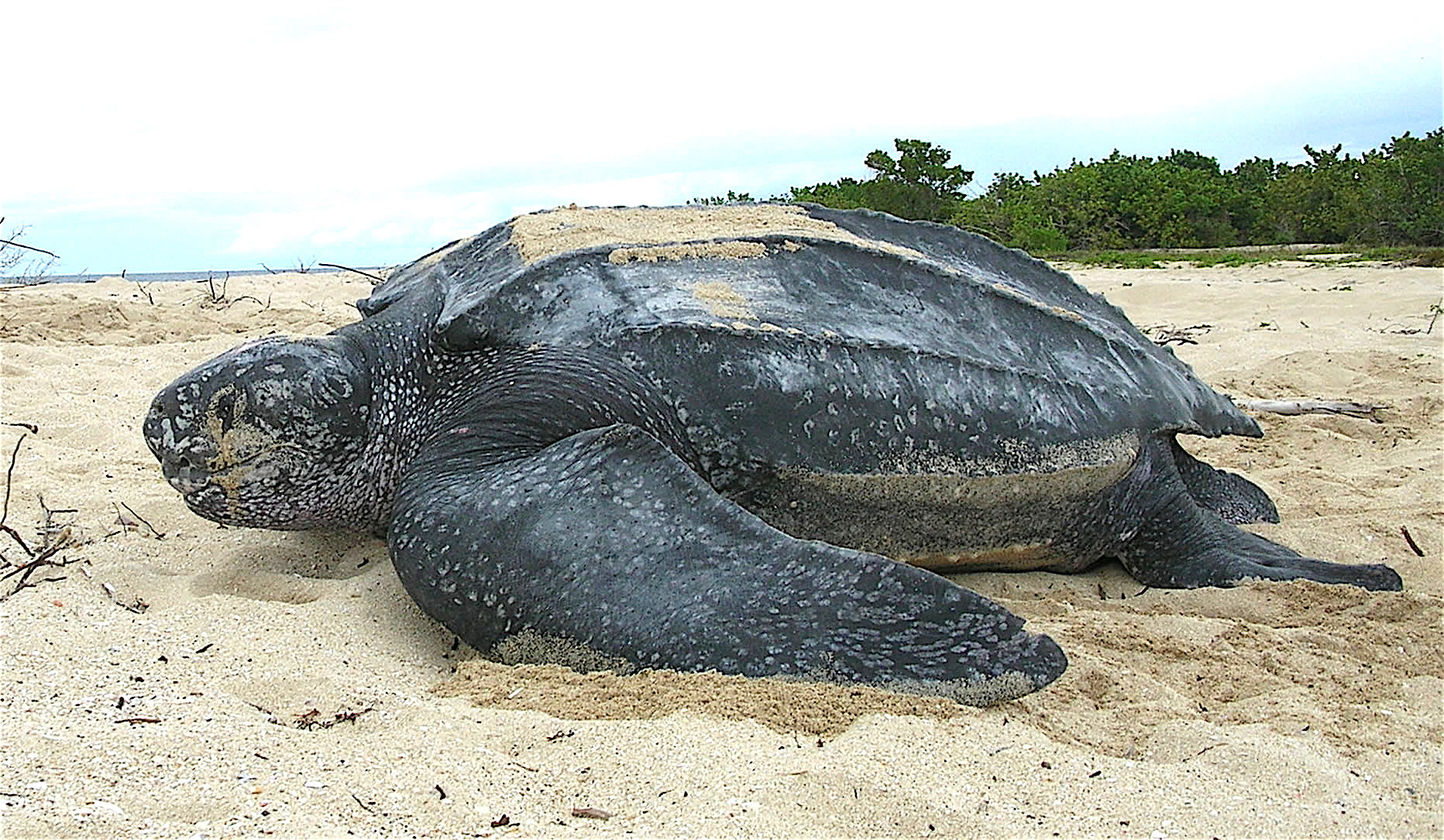 Самую большую черепаху на свете выпустили в море. Видео