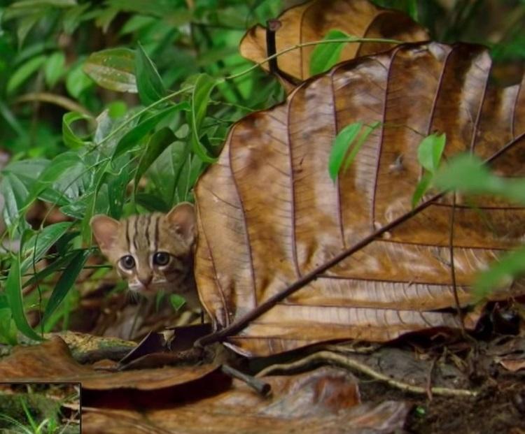 Самую маленькую дикую кошку Азии засняли на видео