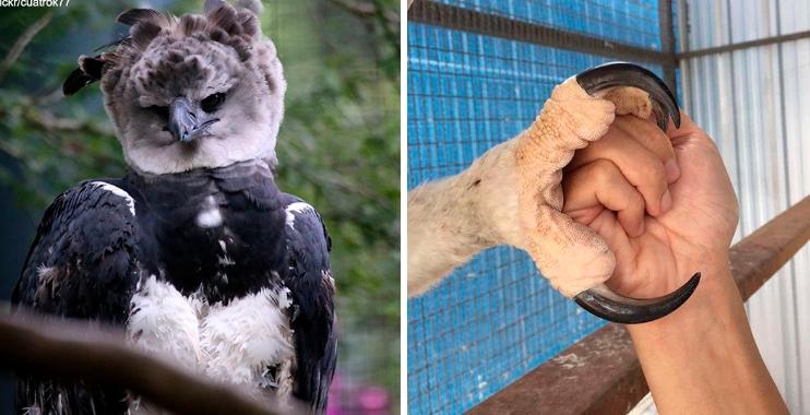 Знакомьтесь: орел, который настолько большой, что все думают, будто это человек