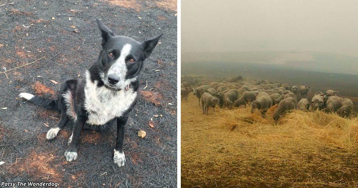 Собака спасла стадо овец от бушующих пожаров в Австралии