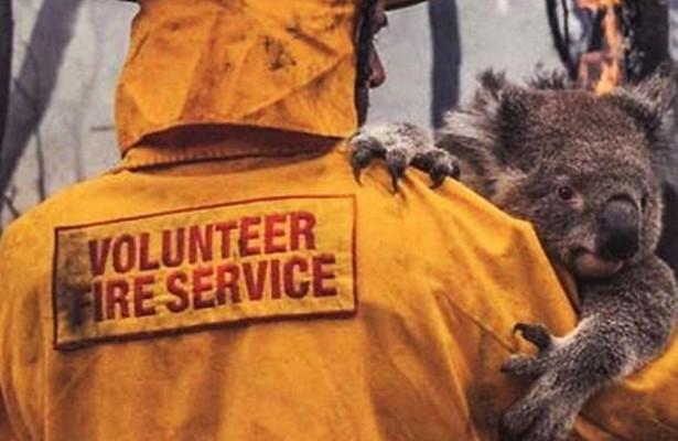 Люди сами спасают коал по всей Австралии от огненной стихии