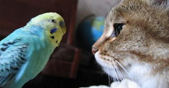 Волнистый попугай разговаривает с котом