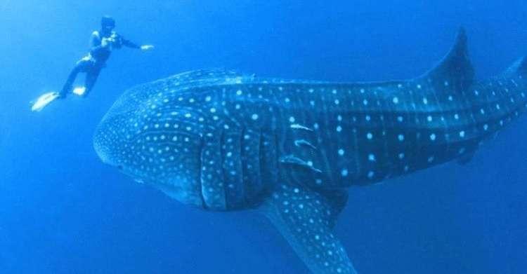 Водолаз сразу не мог понять, что от него хочет этот морской великан. Пока животное не потянуло его за руку