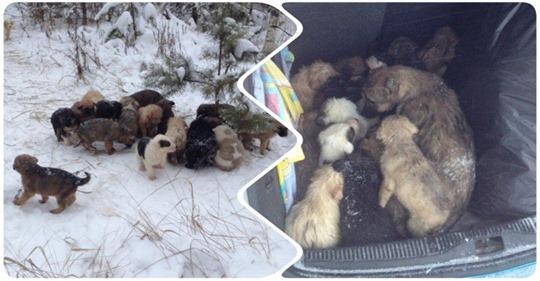 Мужчина нашел в лесу 20 выброшенных на мороз щенков