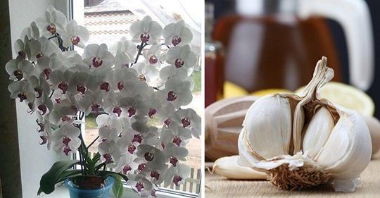Чеснок — настоящее спасение для орхидей