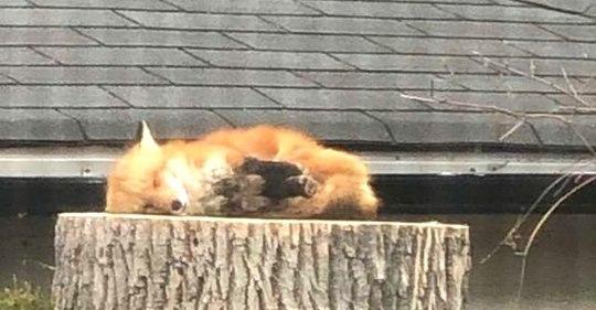 Спящая лиса на большом пне — люди обзавидовались. Как можно так сладко спать?
