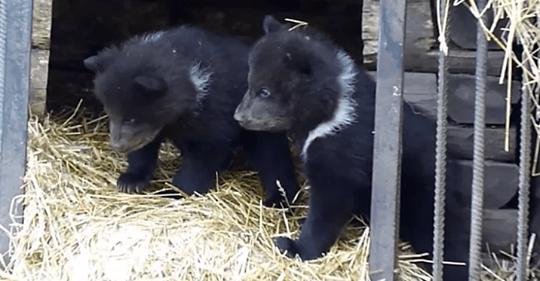Медведица в омском зоопарке стала мамой тройни
