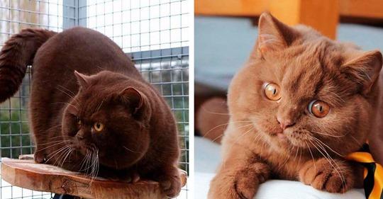 В Германии разводят невероятно красивых котов с шоколадной шубкой