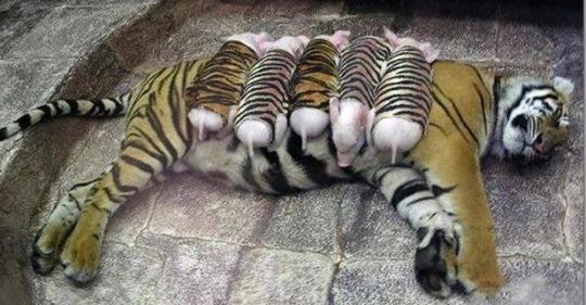 Тигрица потеряла малышей, она тосковала и могла умереть, тогда работники нашли ей других деток…