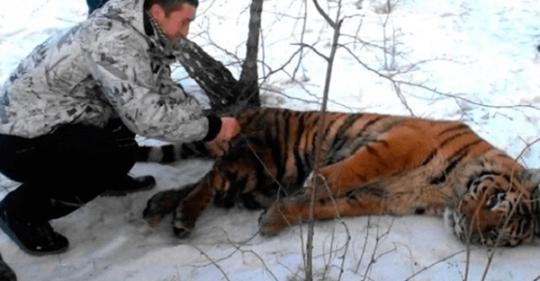 Тигр с петлей на шее, пришел к людям за помощью