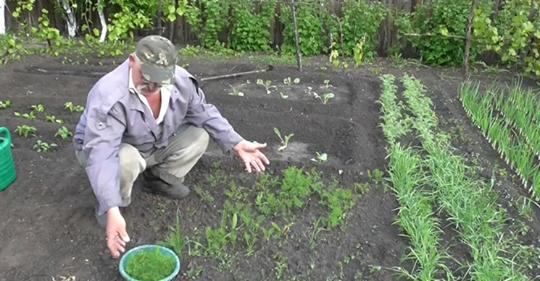 Я специально по всему огороду рассыпаю семена укропа: рассказываю зачем