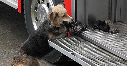 Собака спасла своих щенков из огня, она выносила их прямо в пожарную машину