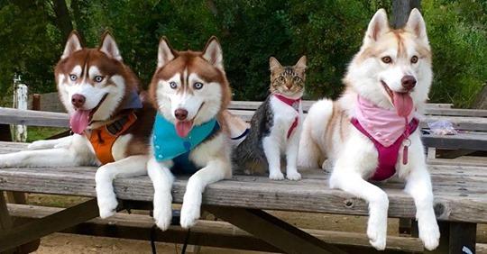 Выросшая вместе с собаками кошка, совершенно уверенна, что она собака хаски