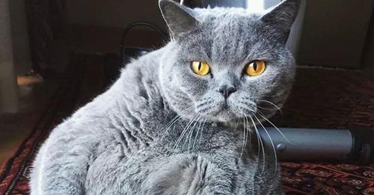 Хозяин попросил усыпить толстого кота, похожего на шар