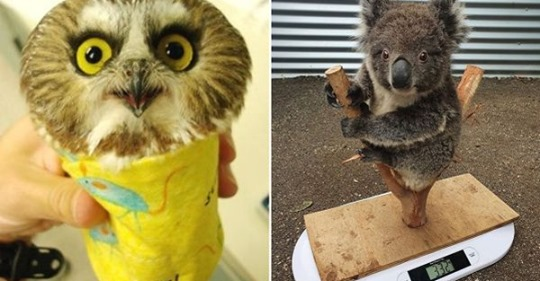15 гениальных и таких милых способов, которыми зооработники взвешивают зверят разных видов