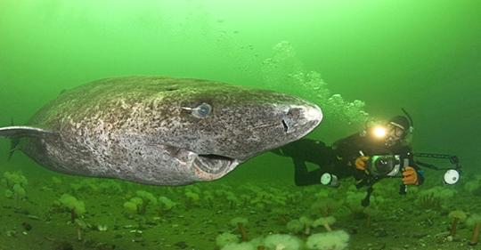 Ученые нашли самое старое животное на земле: этой полярной акуле уже 512 лет