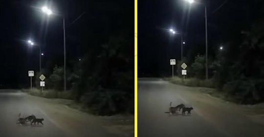 Две кошки помогли собаке с поврежденными лапами перейти дорогу
