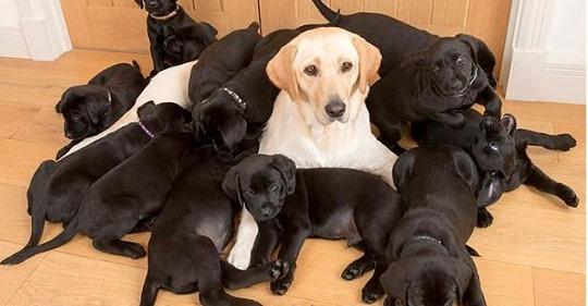 Мама золотистый лабрадор, а все 13 щенков — черненькие! Папа постарался.