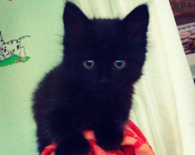 Купили за 5 тысяч котенка, сказали что это мейн-кун. Каким он вырос.