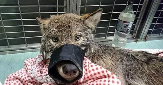 Рабочие из Эстонии спасли «собаку» из замерзшей реки, не зная, что это волк