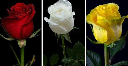 Выберите Розу И Узнайте Что-То Новое О Своих Чувствах!