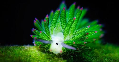 Удивительная «морская овечка»: и животное, и растение одновременно!