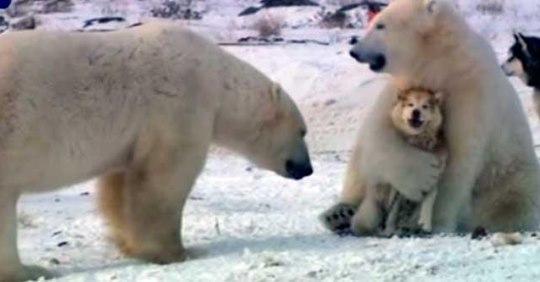 Игры с собаками полярных медведей