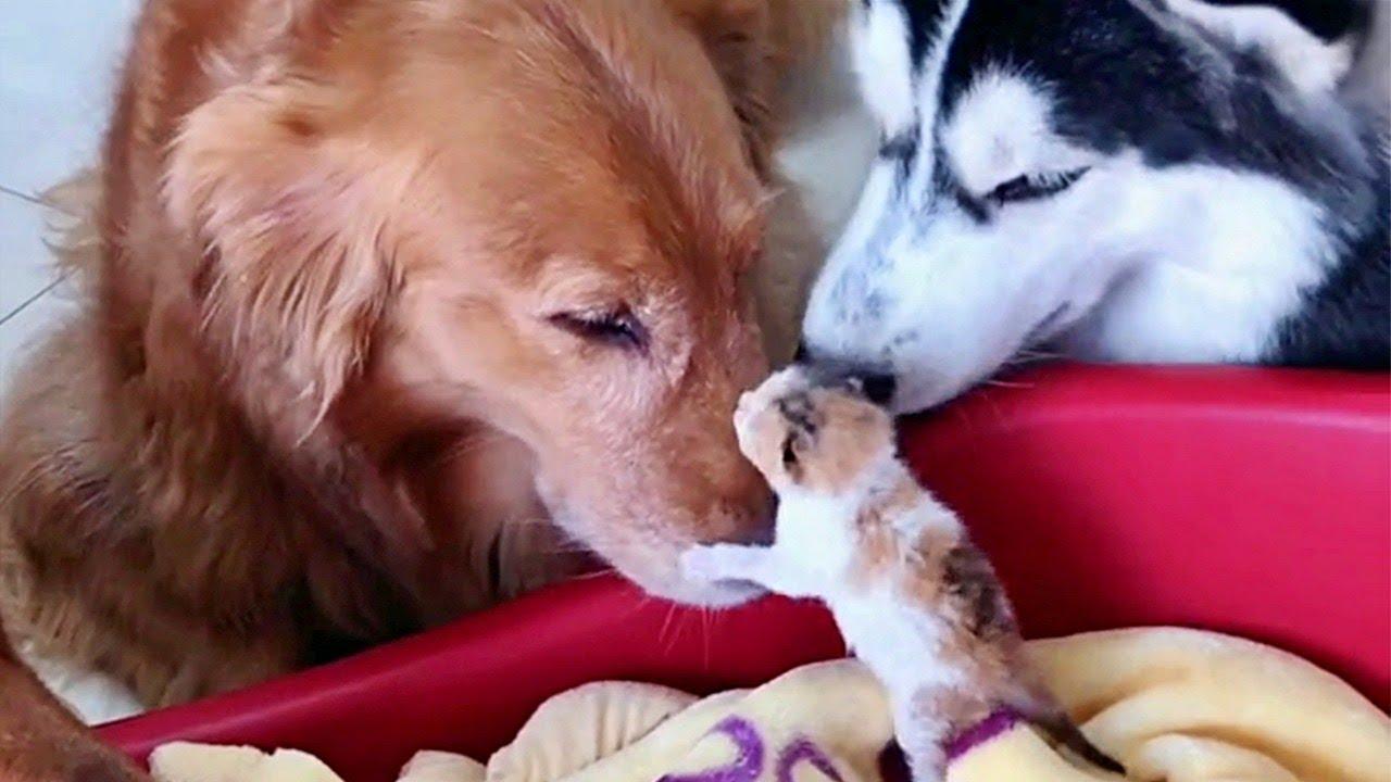 Вокруг новорожденного котенка собрались хаски и ретриверы