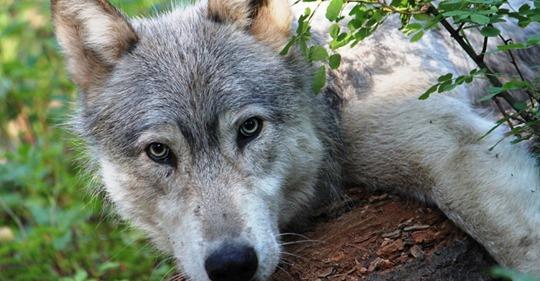Лесник нашел его в лесу маленьким щенком: Теперь этот волчонок не просто у него живет, но и защищает от недоброжелателей