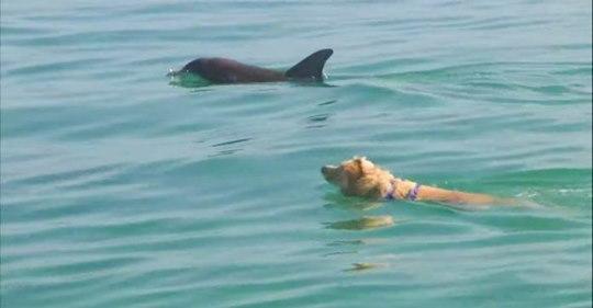 Собака ежедневно совершает заплывы с дельфином
