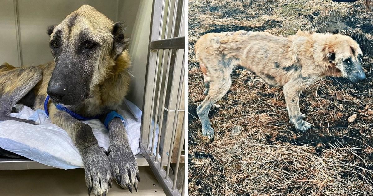 Когда люди нашли худую собаку, то в ней нельзя было узнать алабая. Но волонтёрам удалось вернуть её к жизни