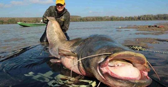 Рыбаки выловили громадного 100-летнего сома. Что нашли у него в брюхе?