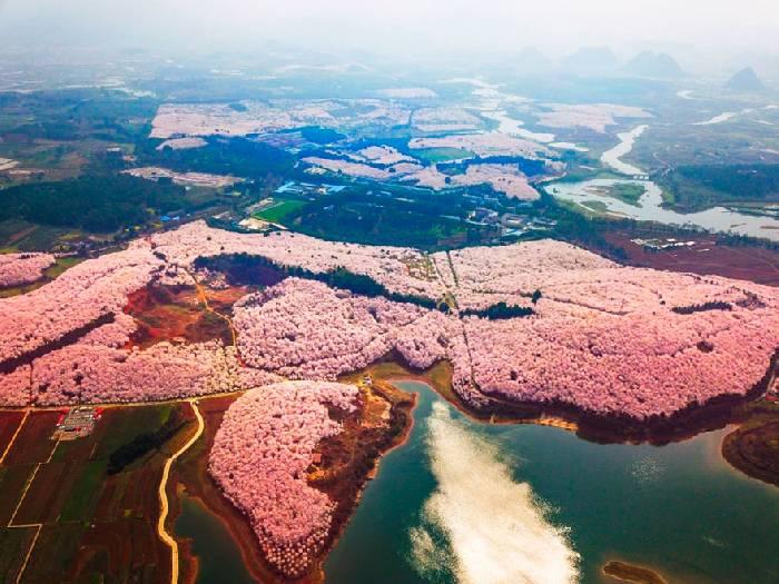 В Китае зацвела вишня, превратив страну в один прекрасный цветущий сад