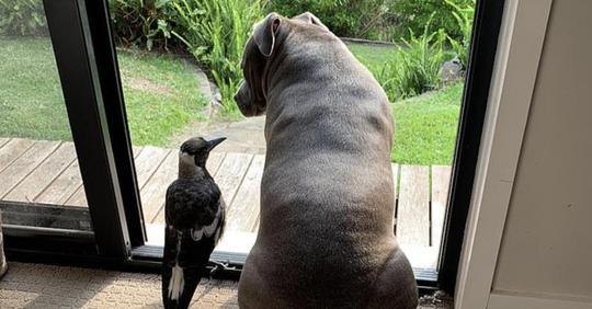 Сорока научилась лаять по-собачьи, чтобы общаться со своим другом