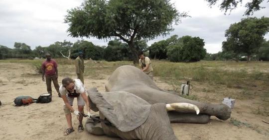 Раненый слон пришел просить человека о помощи