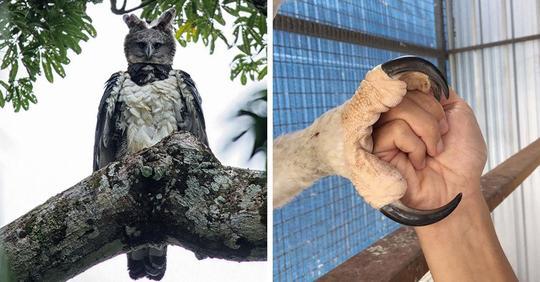 15 снимков южноамериканской гарпии, которая так огромна, что выглядит как человек в костюме птицы